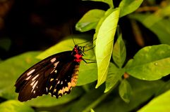 Female Cairns Birdwing butterfly on green leaf Stock Photography
