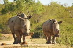 Female and calf White Rhino Royalty Free Stock Photos