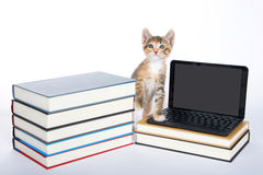 Female calico tortie tabby kitten stepping on miniature laptop type Royalty Free Stock Images