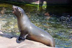 Female califonian sealion (Zalophus californianus) Stock Images