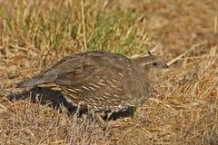 Female California quail, Callipepla californica Royalty Free Stock Images