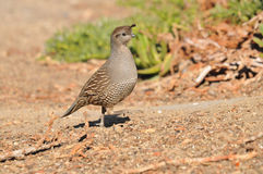 Female California Quail. California quail (Callipepla californica) - female- in Ramona, San Diego County, California Stock Photos