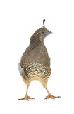 Female California Quail Royalty Free Stock Images