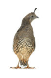 Female California Quail Royalty Free Stock Photos