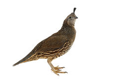 Female California Quail Stock Photo