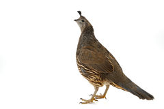 Female California Quail Stock Image
