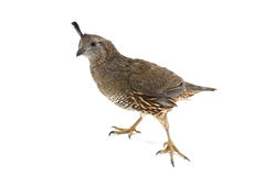 Female California Quail Stock Photography