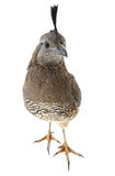 Female California Quail Royalty Free Stock Photography