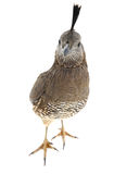 Female California Quail Royalty Free Stock Photo