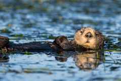 Sea Otter stock images
