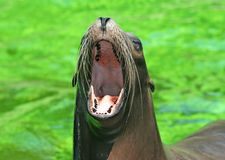 Female californian sea lion with wide open mouth. With green water background at local zoo stock photography