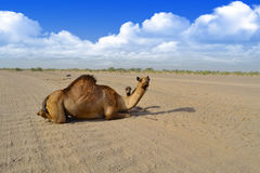 Female Camel and her son. Sitting on the road Royalty Free Stock Photo