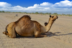 Female Camel and her son closeup. Sitting on the road Stock Photos