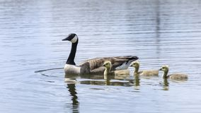 Mother Goose with babies royalty free stock photo