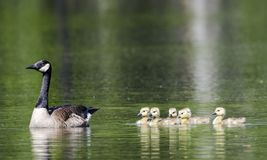 Canada Goose mother and baby goslings, Walton County, GA. Female Canada Goose mother with six baby yellow fuzzy gosling chicks swimming on green pond in spring Royalty Free Stock Photography