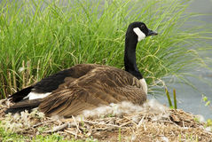 Female Canada Goose Sitting on her Nest Stock Photos