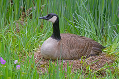 Female Canada Goose sitting on her nest. Stock Photography