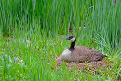 Female Canada Goose sitting on her nest. Stock Photos