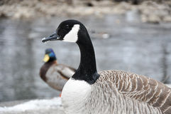 Female Canadian Goose stands before a creek. Female Canadian Goose stands in foreground. Male mallard and creek can be seen in the background, snow on the ground Royalty Free Stock Images