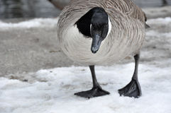 Female Canadian Goose stands before a creek. Female Canadian Goose standing on melting snow Stock Image