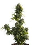 Female Cannabis sativa isolated on white Stock Photography