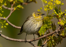 Female Cape May Warbler Royalty Free Stock Image