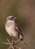 Female Cape Sparrow Royalty Free Stock Photos