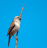 Female Cape Sparrow Stock Photo