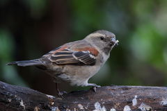 Female Cape Sparrow Stock Images