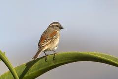 Female Cape Sparrow Stock Images