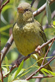 Female Cape Weaver Stock Images