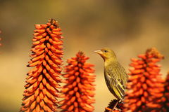 Female Cape Weaver. Stock Photos