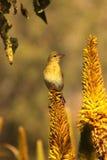 Female Cape Weaver. Royalty Free Stock Photos