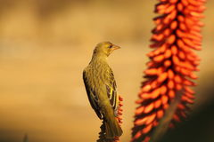 Female Cape Weaver. Stock Images