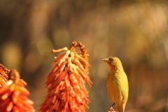 Female Cape Weaver. Royalty Free Stock Photos
