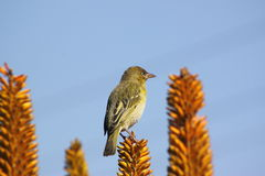 Female Cape Weaver. Royalty Free Stock Photography