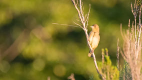 Female Cape Weaver Royalty Free Stock Images