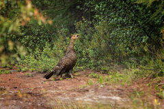 Female of capercaillie Royalty Free Stock Photos