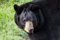 Captive Black Bear, Bear Hollow Zoo, Athens Georgia USA. Female captive Black Bear, Ursus americanus, came to Bear Hollow Zoo as an orphan in 2010. Bear Hollow royalty free stock photo