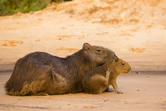 Female Capybara with Itchy, Scratching Baby Stock Photos