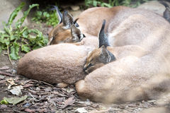 Female Caracal, Caracal caracal, with a young Stock Image