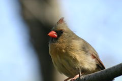 Female cardinal. Female northern cardinal (Cardinalis cardinalis) on branch, Central Park, New York City royalty free stock images