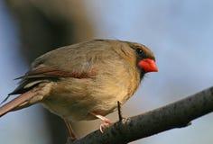 Female cardinal Stock Image