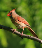 Female cardinal. A female cardinal with a seed in its beak Stock Photography