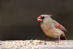 Female Cardinal. Closeup of a female Cardinal eating seed along a nature pathway in Ontario, Canada royalty free stock photos