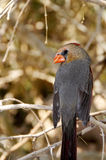 Female Cardinal Royalty Free Stock Photos