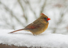 Female Cardinal. Sitting in the snow Royalty Free Stock Photos