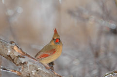 Female Cardinal stock images