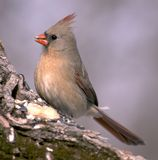 Female Cardinal. Female northern cardinal perched on a tree trunk royalty free stock image