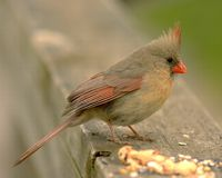 Female Cardinal. Perched on a wooden railing royalty free stock image